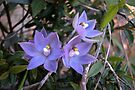 Slender Sun Orchid by Ian Berry