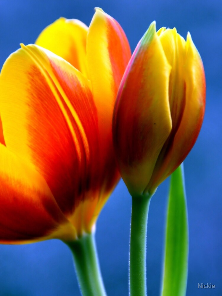 Orange Tulips  by Nickie