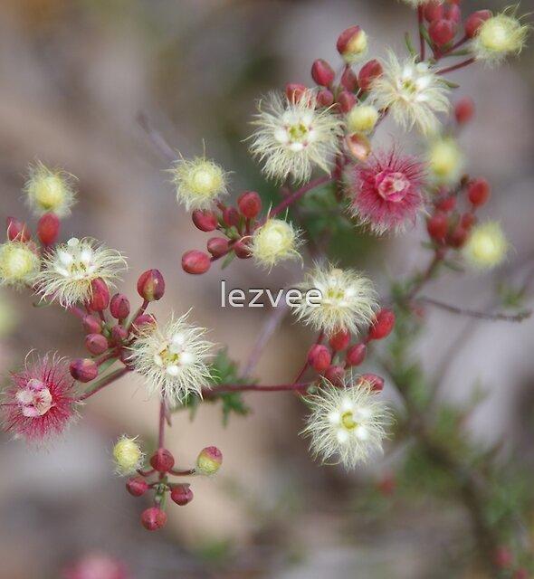 Verticordia huegelii  (Variegated Featherflower) by lezvee