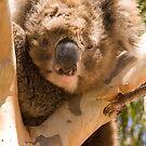 Koala by SusanAdey