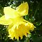 *Feature Page/Daffodil - Gorgeous Flower Cards*