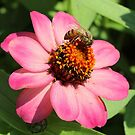 Bee on Pink and Yellow Flower Blossom by anitahiltz