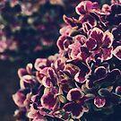 Hydrangea deep purple by Ingrid Beddoes