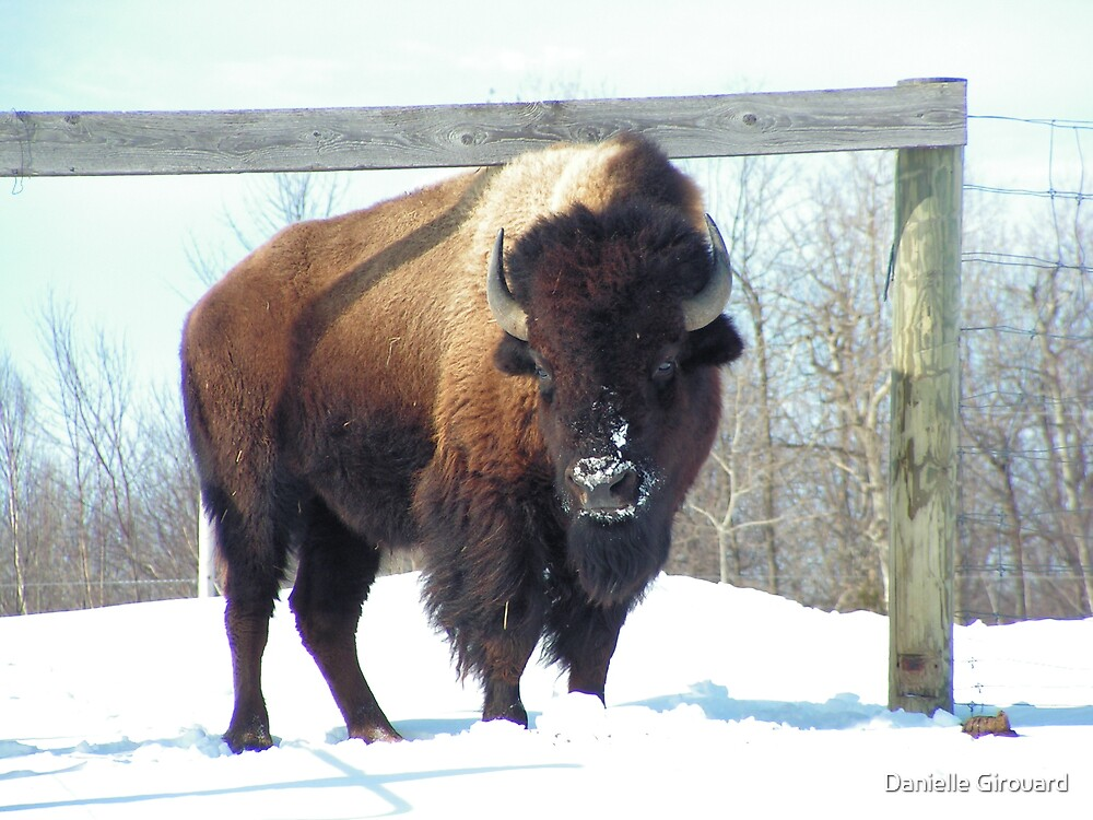 Buffalo by Danielle Girouard
