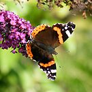 Red Admiral by dougie1