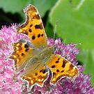 Comma on Sedum by dougie1