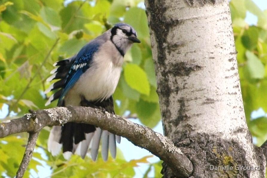 Blue Jay in a Cape by Danielle Girouard