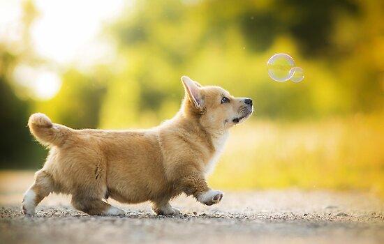Corgi Puppy von Alatia