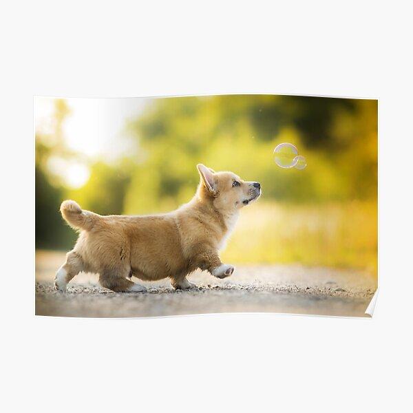 Corgi Puppy Poster