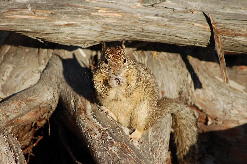 Carmel Squirrel by Jack Walker