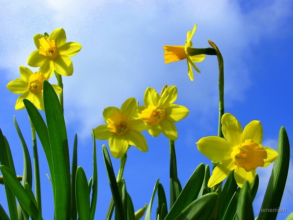 Narcissus in Sunshine by ienemien