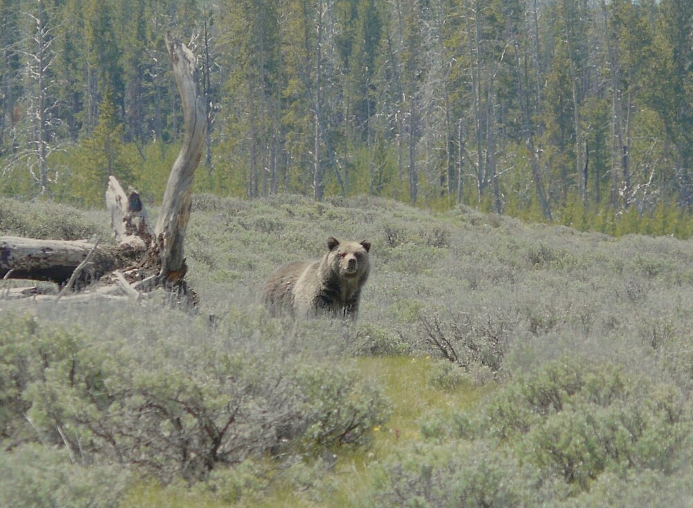 Grizzly Bear by lokn4sure