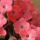 Lovely pink flowers . © Dr.Andrzej Goszcz by © Andrzej Goszcz,M.D. Ph.D
