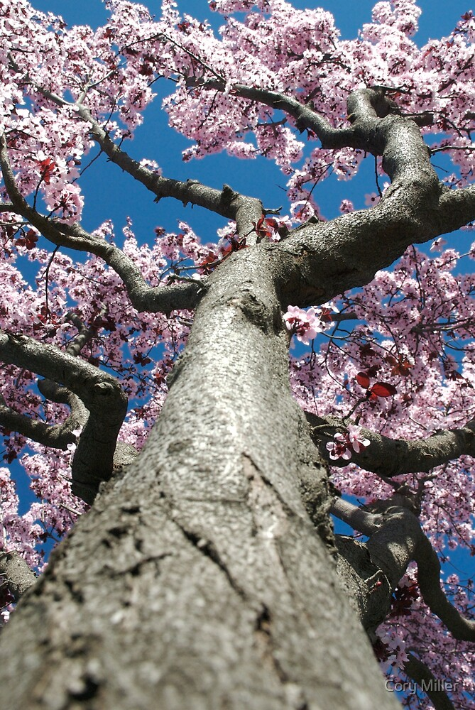 Tree Blossoms, 2008 by Cory Miller