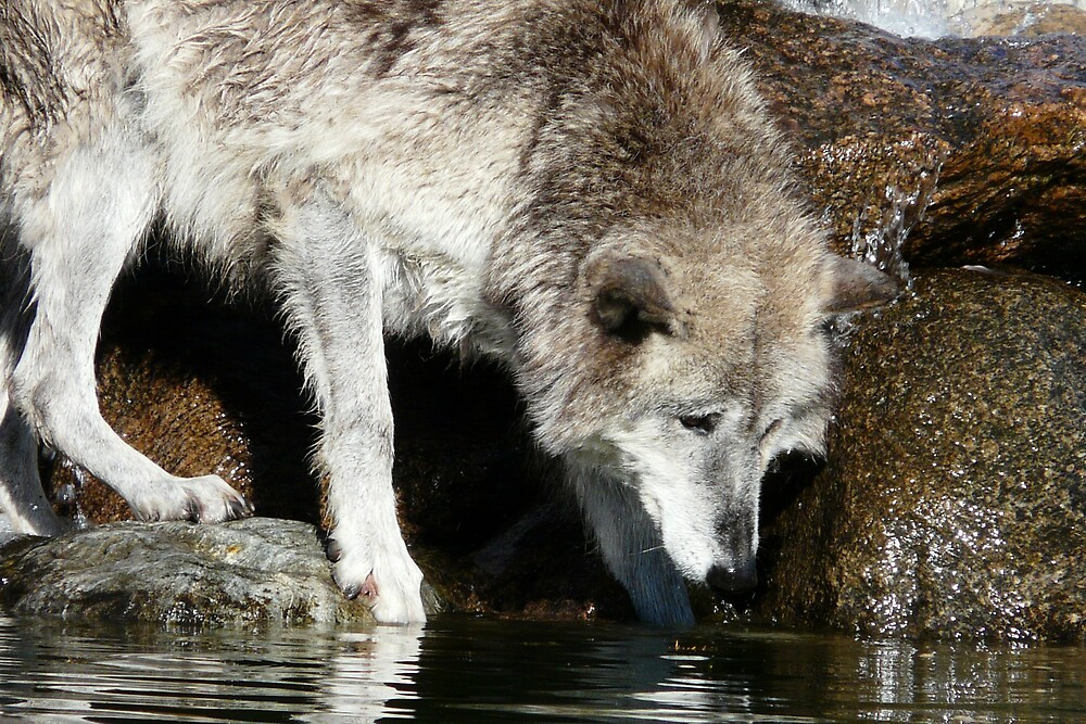 Grey Wolf by lokn4sure