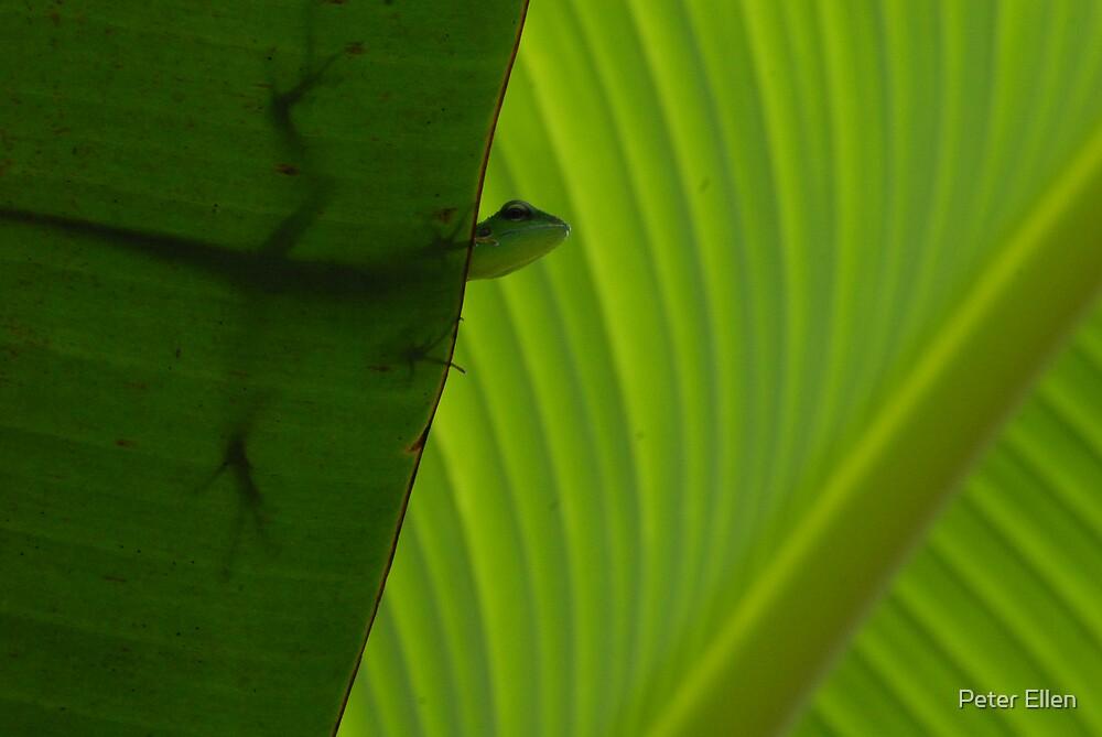 Crested Green Lizard by Peter Ellen