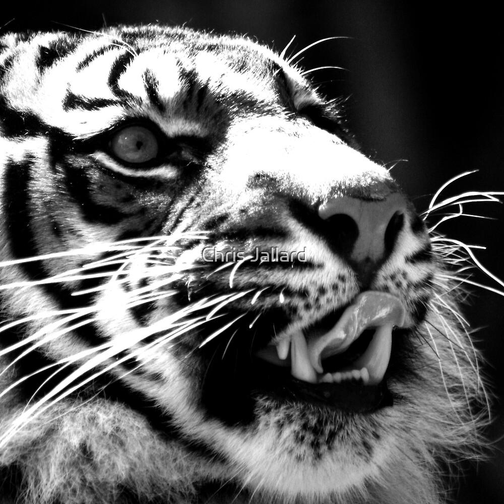 Majestic Tiger by Chris Jallard