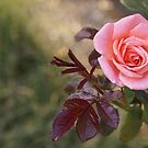 Autumn Rose by Gilberte