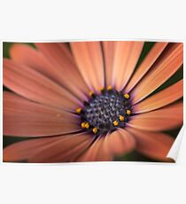 Closeup of colourful osteospermum flower or cape daisy Poster