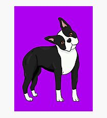 Adorable Boston Terrier Photographic Print