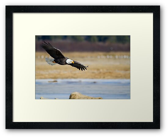 Watch out bald eagle by Eti Reid