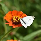 White cabbage butterfly! by Poete100