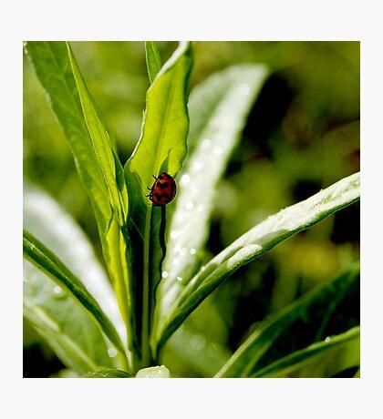 ladybird, ladybird Photographic Print