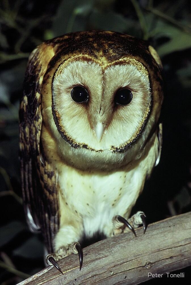 Tasmanian Masked Owl by Peter  Tonelli