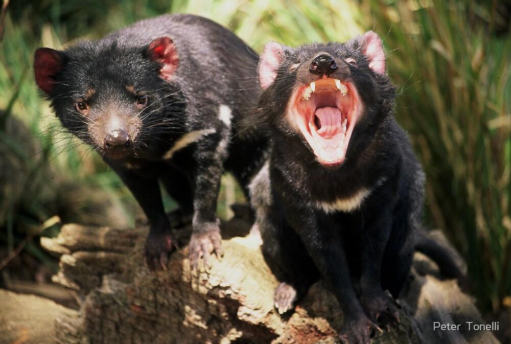 Tasmanian Devils by Peter  Tonelli