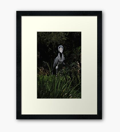 Shoe Billed Stork 1 Framed Print