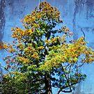 Grevillea robusta FX by webgrrl