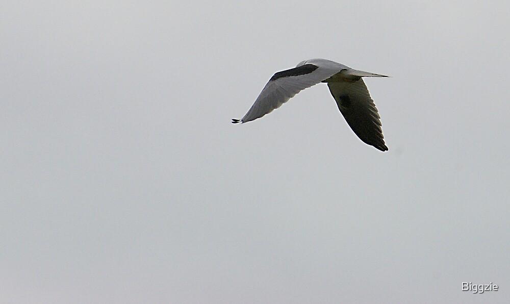Hovering Kite by Biggzie