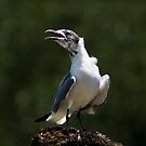 Laughing Gull by Jonicool