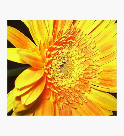 Gold & Beautiful Gerbera Photographic Print