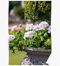 Bright heranium flowers in ancient stone pot Poster