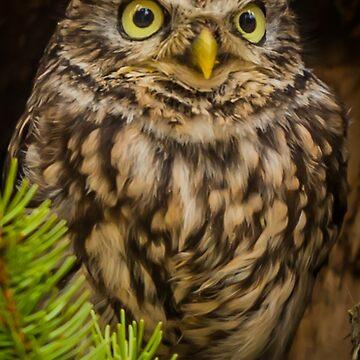 Little Owl by AliusImago