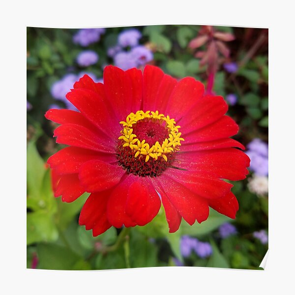 Red zinnia - blazing ring of fire Poster