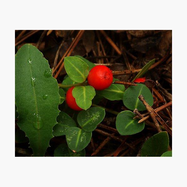 Partridge Berry Photographic Print