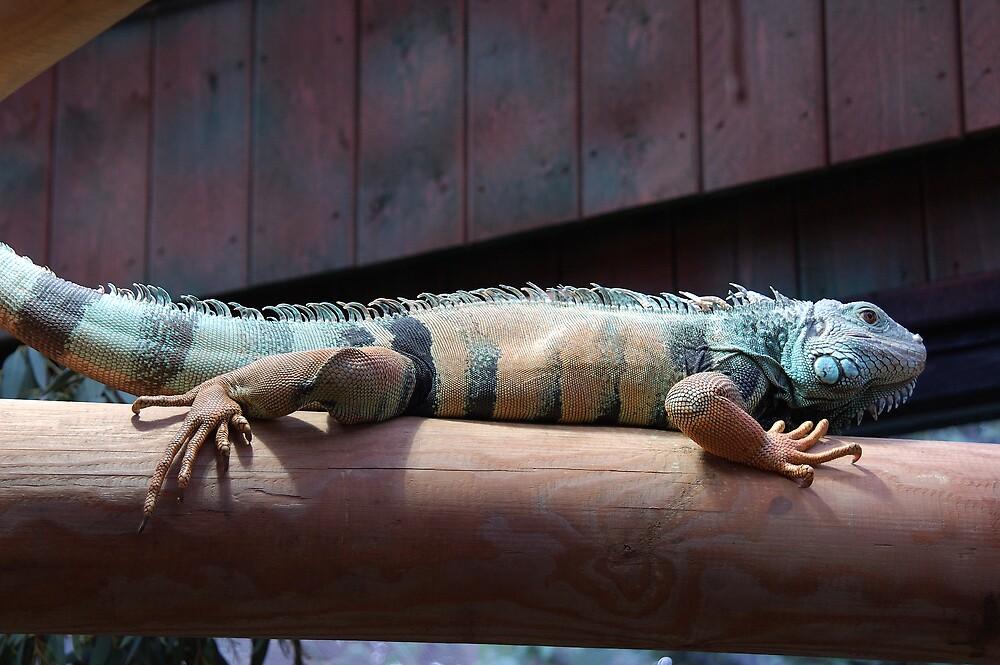 Lizard by Stan Daniels