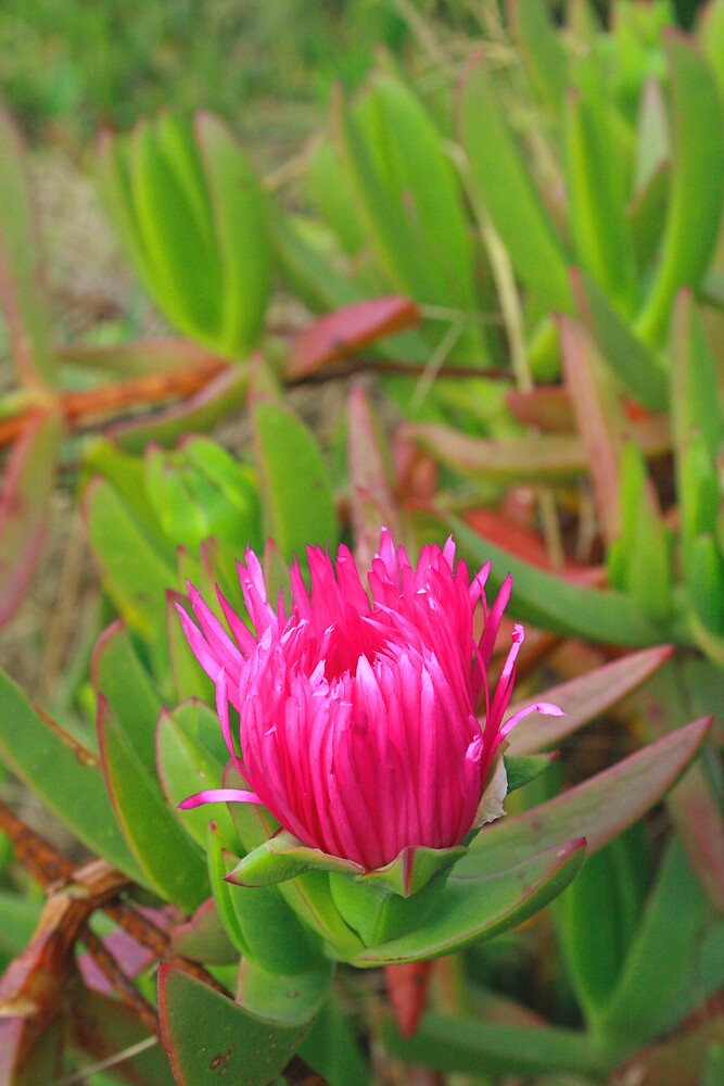 Pink dune flower, Dee Why Lagoon by Spirit Level Creations