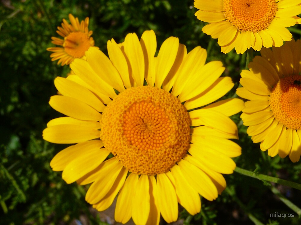 yellow daisies by milagros