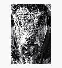 English Longhorn Bull Photographic Print