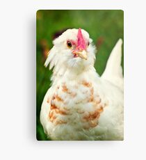 White Barbu d'Uccle bantam chicken Metal Print