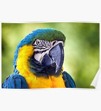 Macaw Parrot Poster