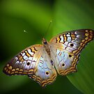 White Peacock Butterfly by Lisa Putman