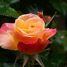 Pink orange rose by MyDigitalOregon