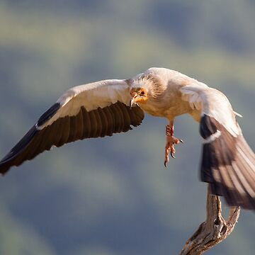 Egyptian Vulture in flight by domcia