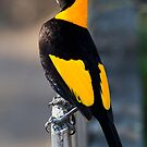 Regent Bower Bird - Lamington National Park, Australia by Richard  Windeyer