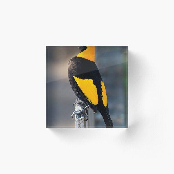Regent Bower Bird - Lamington National Park, Australia Acrylic Block