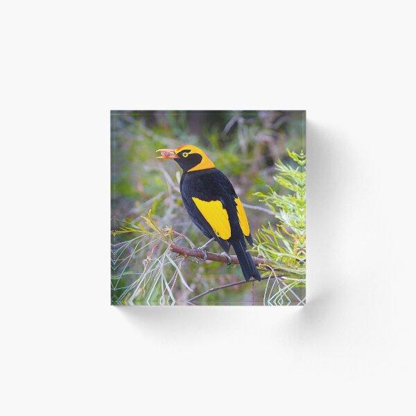 Regent Bower Bird, Lamington National Park, Australia Acrylic Block
